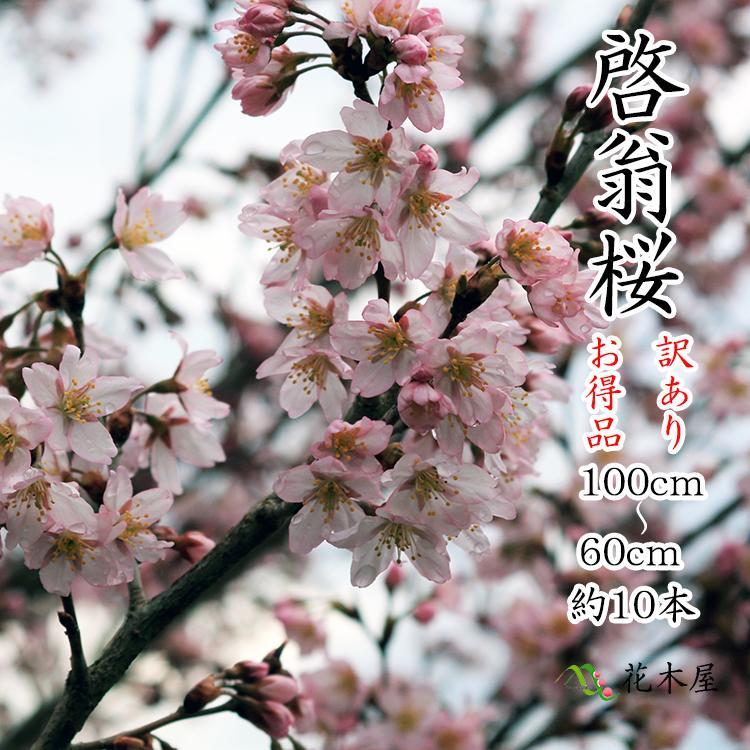 啓翁桜 高さ1m〜0.6m 小枝 1束 10本程度 切花 訳あり