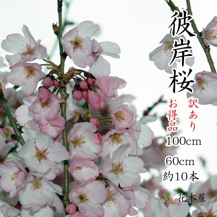 【季節の桜】【発送は3月上旬より】【訳あり】 彼岸桜 高さ1m〜0.6m 小枝 1束 10本程度 切花