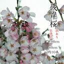 【送料無料】【訳あり】 彼岸桜 高さ1m〜0.6m 小枝 1束 10本程度 切花 お花見 花見 家 屋内 飾り