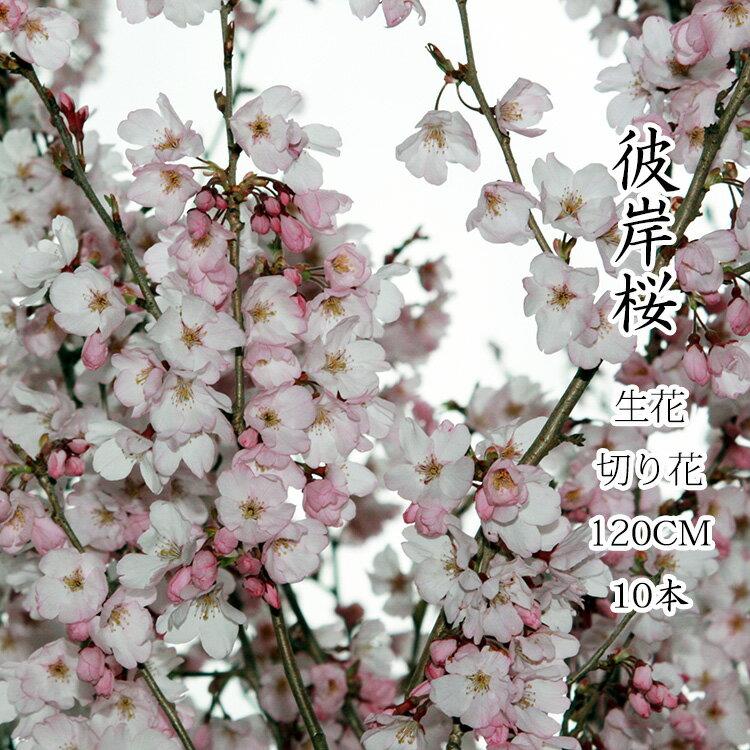 彼岸桜 ひがんさくら 生花 1.15m 10本 お花見 花見 家 屋内 飾り