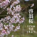 啓翁桜 高さ 約1.15m 1本 生花 お花見 花見 家 屋内 飾り