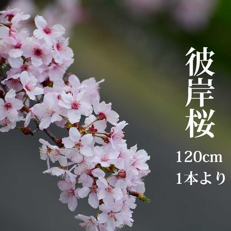 【2020年度3月発送分】彼岸桜 ひがんさくら 生花 1.15m 1本 切花 お花見 花見 家 屋内 飾り