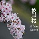 【3月10日頃からの出荷】彼岸桜 ひがんさくら 生花 1.15m 1本 切花 お花見 花見 家 屋内 飾り