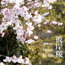 【送料無料】【3月10日頃からの出荷】 彼岸桜 高さ1m〜0.6m 小枝 1束 10本程度 切花 お花見 花見 家 屋内 飾り