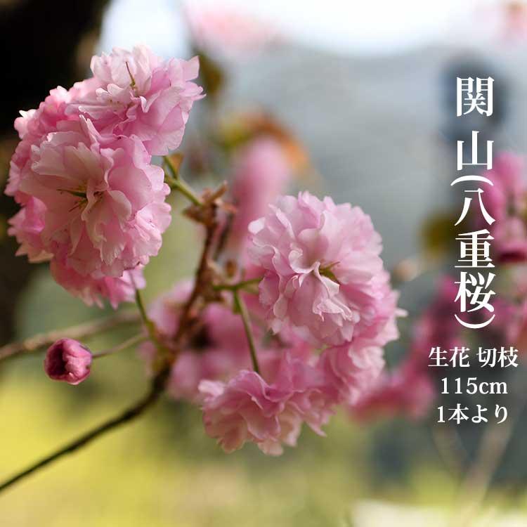 【4月中旬からの発送です】八重 桜 関山 約1.15m 1本より 生花 切枝 お花見 花見 家 屋内 飾り