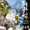 【3月20日頃より発送】ボタン桜 牡丹 桜 約1.15m 1本 切花 お花見 花見 家 屋内 飾り花材