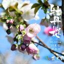 牡丹桜 高さ1m〜0.6m 小枝 1束 10本程度 切花 お花見 花見 家 屋内 飾り
