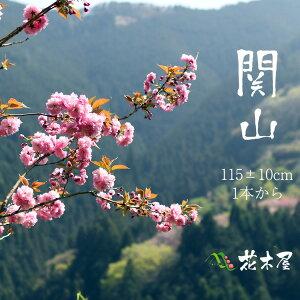 【花材】関山桜