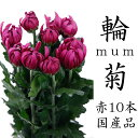 菊の花 赤 一輪菊 70〜80センチ 10本 切花 生花