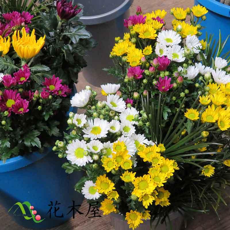 お供え花セット 花束 1束 60cm程度 高野槇 輪菊 小菊 生花