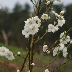 生花 桃の花 白 白桃 切花 1.2m 1把(5〜8本)