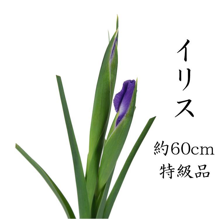 【1月15日から発送開始】イリス アイリス 70cm〜50cm 1本よりひな祭り 雛祭り ひなまつり 紫 花材 桃の節句 生花 花