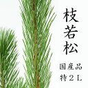 【12月10日頃より発送】枝若松 2L 特級品 120cm前後 1本