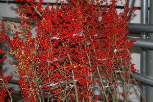 【今シーズンの販売は終了しました】【2019年秋分予約】梅もどき 赤 120cm程度 切花 切り花 1本 から 花材 花展 展示会 生花 切り花 枝物 枝もの 秋 10月 11月 木の枝 インテリア
