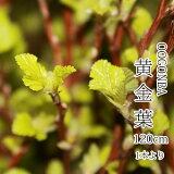 【葉物】黄金葉(キンバ・キンバコデマリ)お稽古向け1本からご購入可能です。3月10日頃より販売の予定です