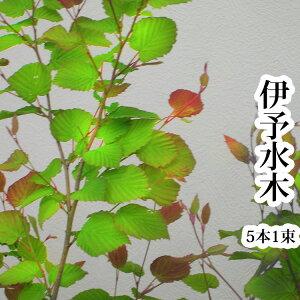 【切花】伊予水木お稽古向け