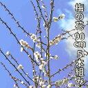 【12月5日頃からの発送】梅の花 90cm以下 5本程度 生花 切り花