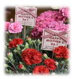 花木屋母の日ギフトカーネーションフラワーアレンジメント赤プレゼント