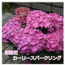 紫陽花 アジサイ 花 カーリースパークル 5号鉢 母の日 間に合う ピンク かわいい 鉢花 花鉢 ギフト 豪華