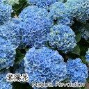 【父の日 早割 クーポン】紫陽花 アジサイ 花 マジカル 5号鉢 父の日 ブル— ピンク グラデーション 鉢花 鉢花ギフト