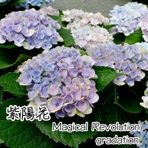 【父の日早割クーポン】【母の日遅れてごめんね】紫陽花アジサイ花マジカル5号鉢父の日ブル—ピンクグラデーションラッピングメッセージカード可