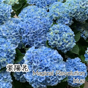 【国内農家応援】アジサイマジカルレボリューション5号鉢レッドブル—紫陽花