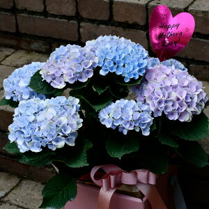 【国内農家応援】紫陽花アジサイあじさいマジカルレボリューション5号鉢ピンクブル—秋色アジサイ鉢花花鉢ギフト