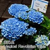 紫陽花アジサイあじさいマジカルレボリューション5号鉢ピンクブル—秋色アジサイ鉢花花鉢ギフト
