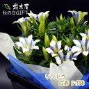 【敬老の日 遅れてごめんね】りんどう 鉢植え 5号鉢 ブルー ホワイト プレゼント 鉢花 花鉢 ギフト