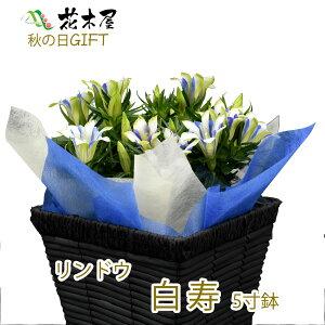 りんどう 鉢植え 5号鉢 ブルー ホワイト プレゼント 鉢花 花鉢 ギフト