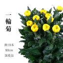 輪菊 黄色 菊 花 70〜80センチ 10本 切花 生花