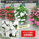 3個で送料無料!【植え込んでお届け】日々草フラワーパウチ!花色:ホワイト