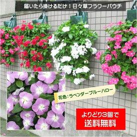 【植え込んでお届け】日々草フラワーパウチ!花色:ラベンダーブルーハロー系