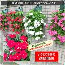 3個で送料無料!【植え込んでお届け】日々草フラワーパウチ!花色:レッド系