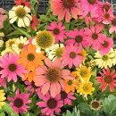 【エキナセア属】エキナセア一重咲き(花色混合)3号Lポット