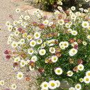 花色がグラデーションするエリゲロン