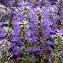 初夏にブルーの可愛らしい花を咲かせるアジュガ