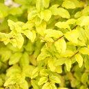 鮮やかな斑入りライム葉のプリペット