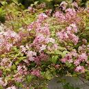 可愛らしい桜に似たピンクの花ロザリンド(珠姫)