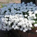 放任栽培で毎年咲いてくれます。
