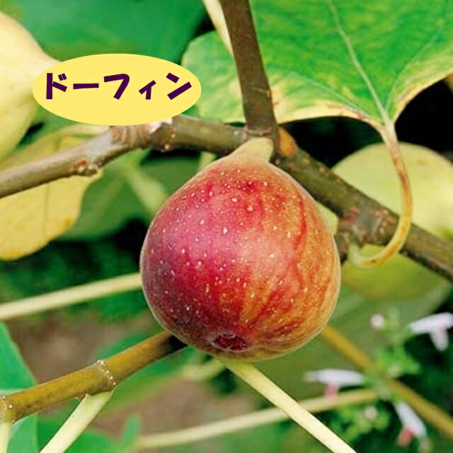 【イチジク属】ドーフィン(二年生接木苗)4号LLポット