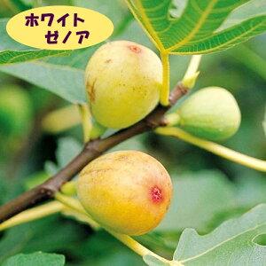 【イチジク属】ホワイト ゼノア(接木苗)4号LLポット