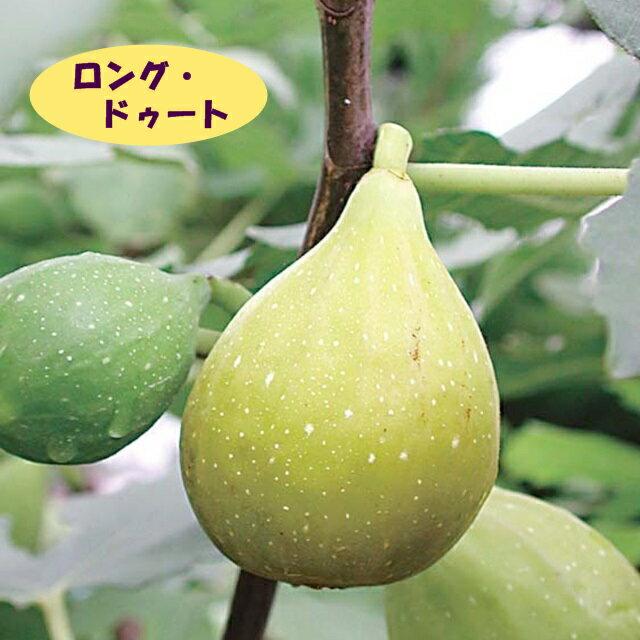 【イチジク属】ロング・ドゥート(バナーネ)(二年生接木苗)4号LLポット