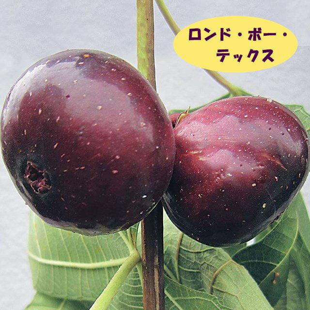 【イチジク属】ロンドー・ボー・デックス 4号LLポット