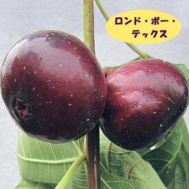【イチジク属】ロンドー・ボー・デックス(二年生接木苗)4号LLポット