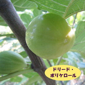 【イチジク属】ドリード・ポルケロール(接木苗)4号LLポット