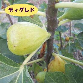【イチジク属】ディグレド(接木苗)4号LLポット