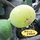 【イチジク属】グリーン・イスキア 4号LLポット