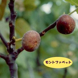 【イチジク属】モントファベット(接木苗)4号LLポット