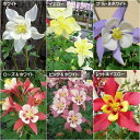 【オダマキ属】オリガミシリーズ3号ポット